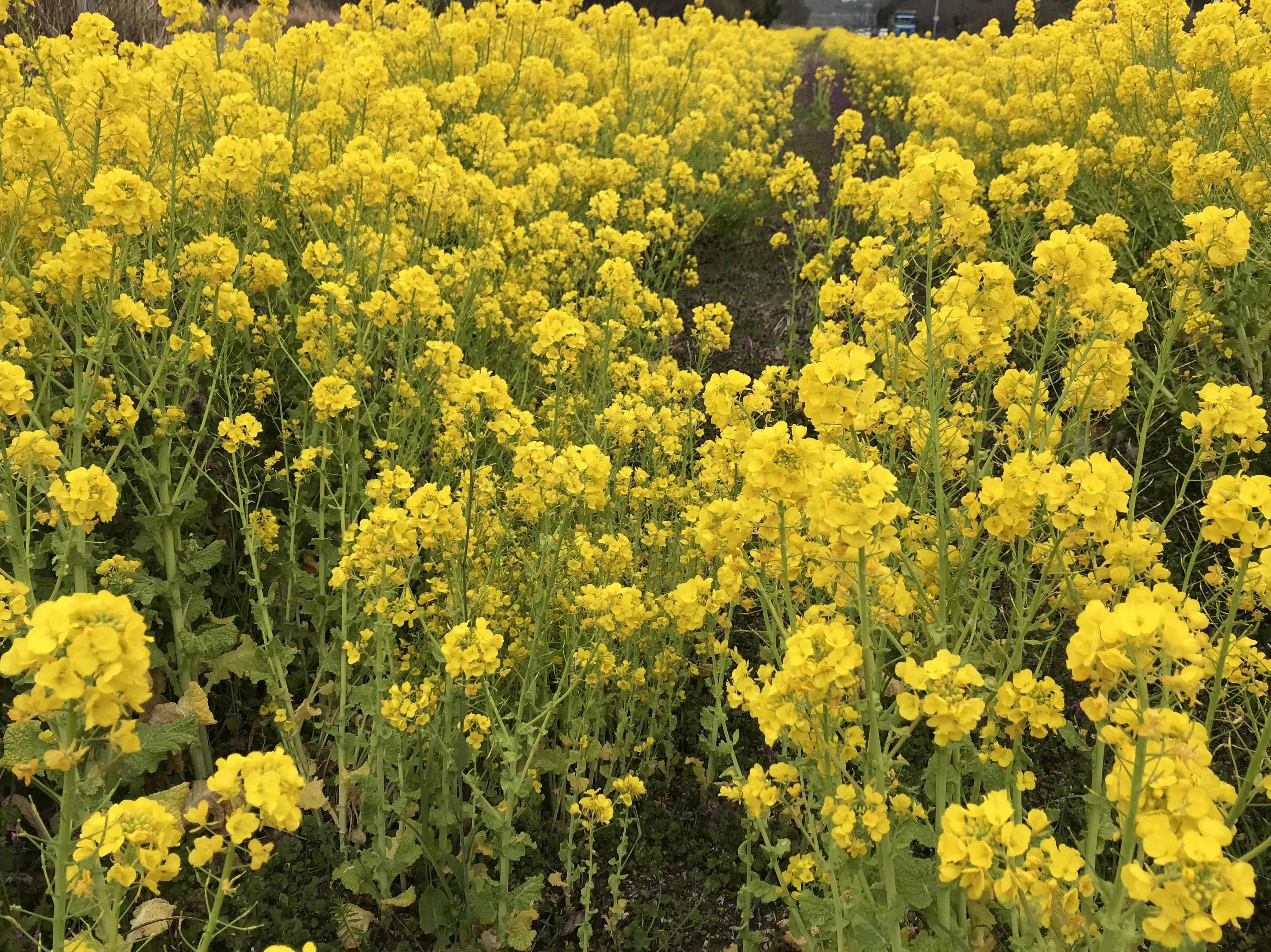 春みつけ  黄色