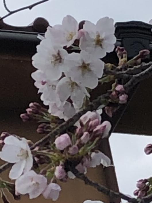 さくら 開花!!