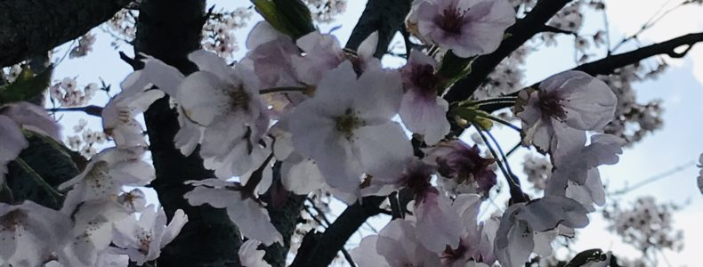 桜満開❕❕
