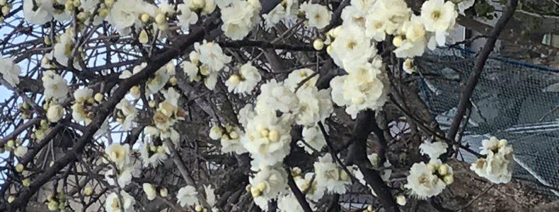 満開!梅の花